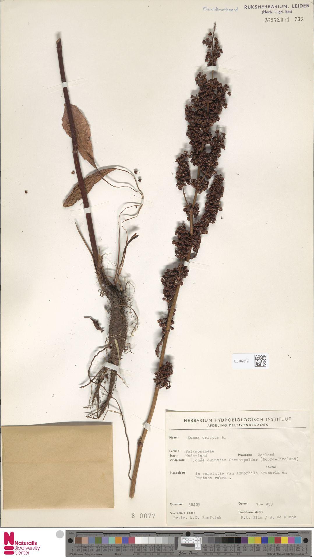 L.3182819 | Rumex crispus L.