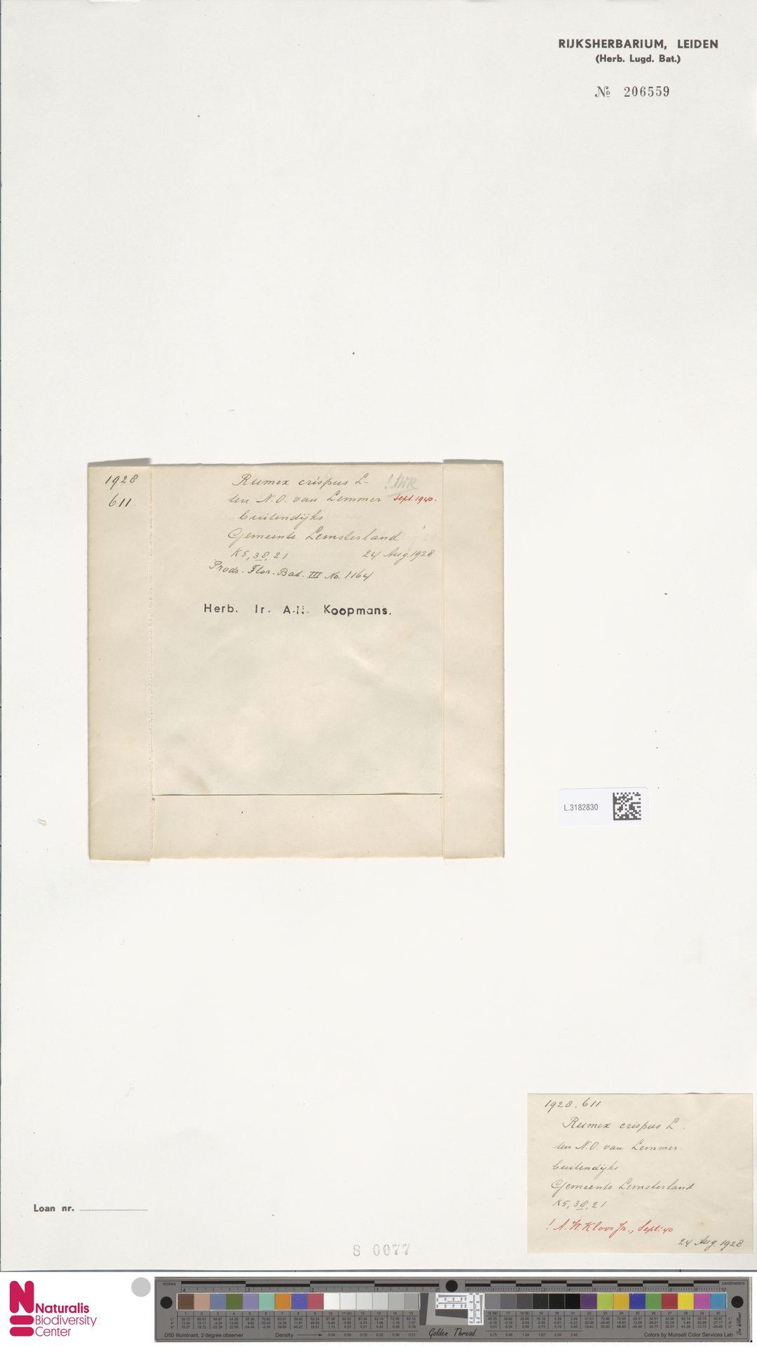 L.3182830 | Rumex crispus L.