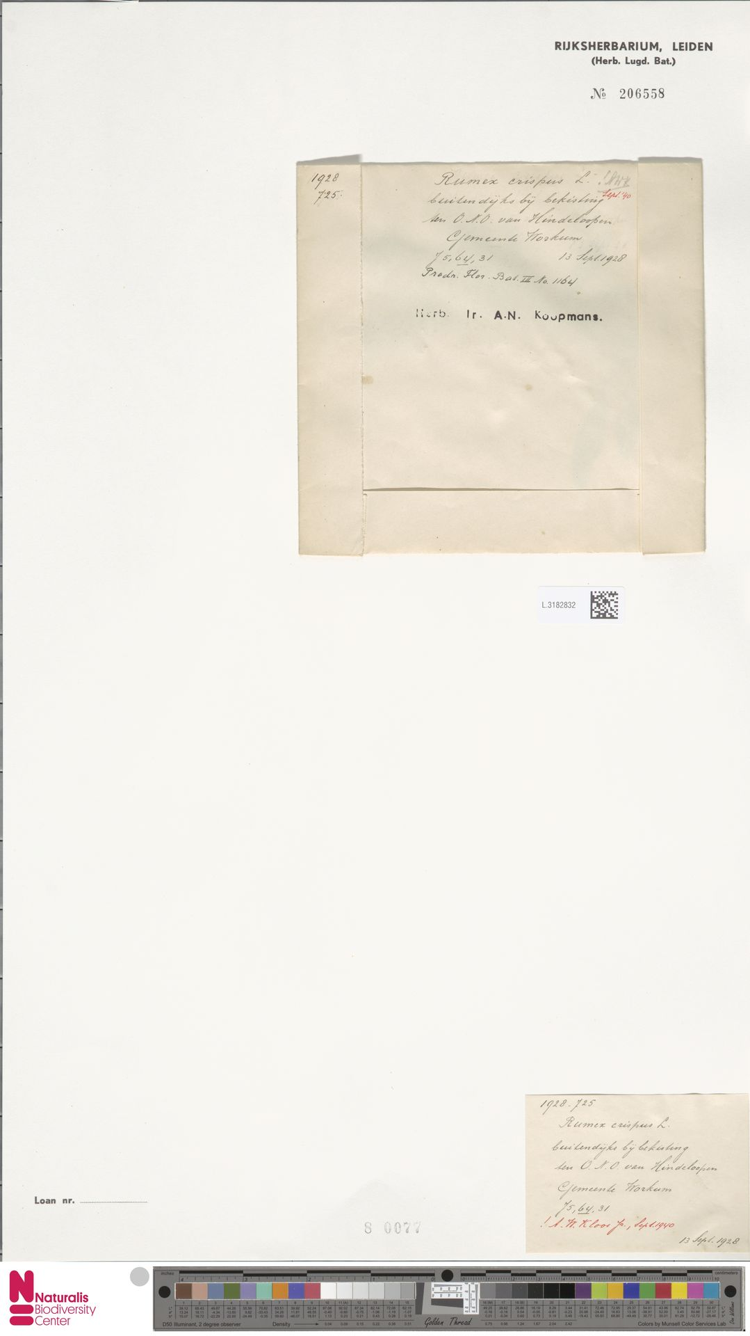 L.3182832 | Rumex crispus L.