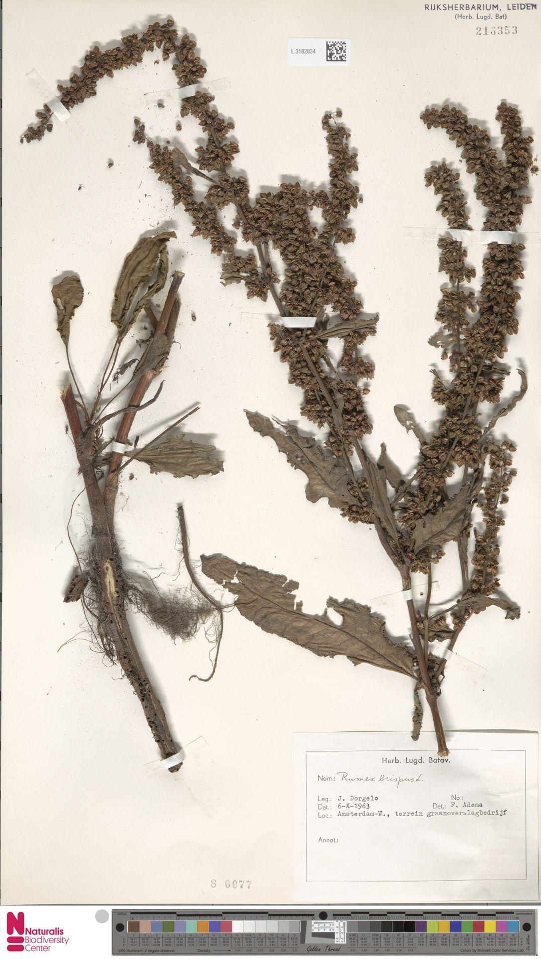 L.3182834 | Rumex crispus L.