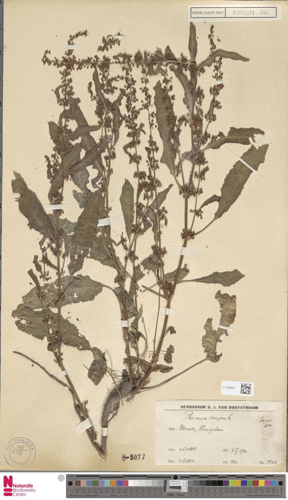 L.3182837 | Rumex crispus L.