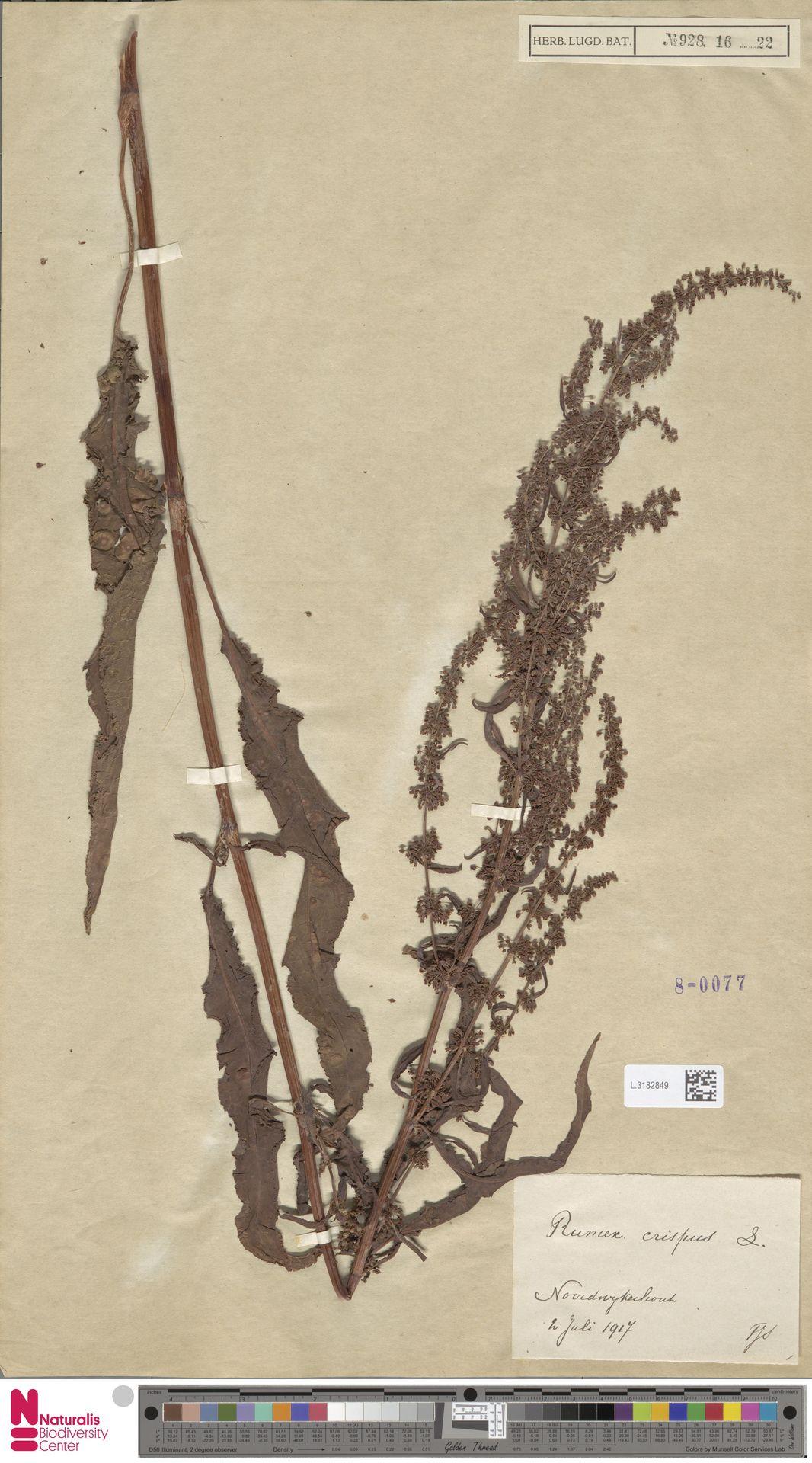 L.3182849 | Rumex crispus L.