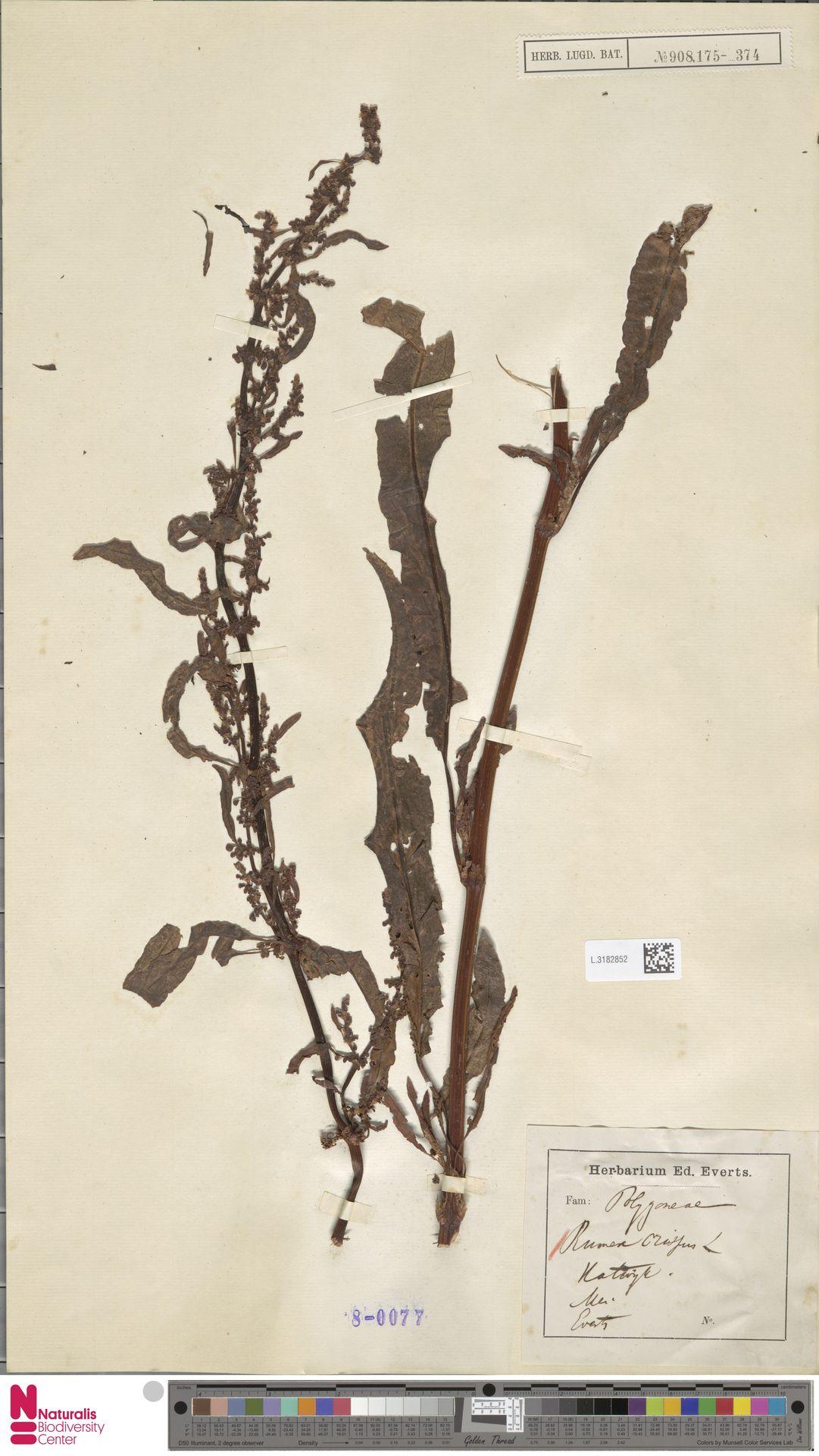 L.3182852 | Rumex crispus L.