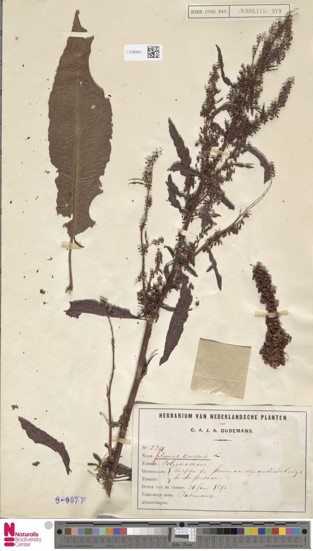 L.3182853 | Rumex crispus L.