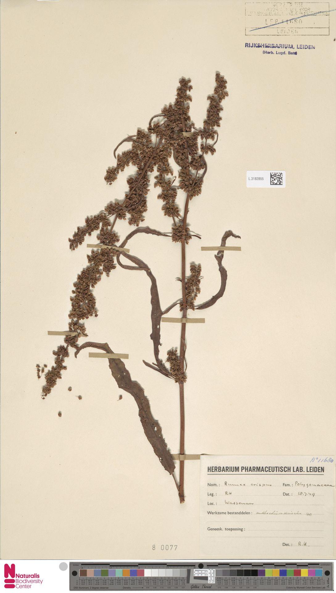 L.3182855 | Rumex crispus L.