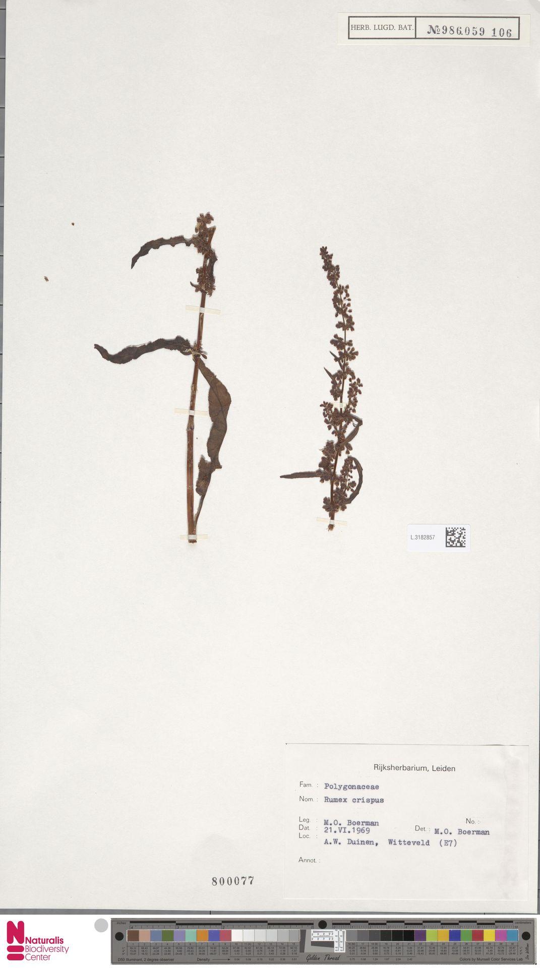 L.3182857 | Rumex crispus L.