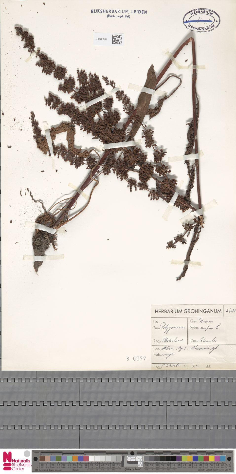 L.3182867 | Rumex crispus L.