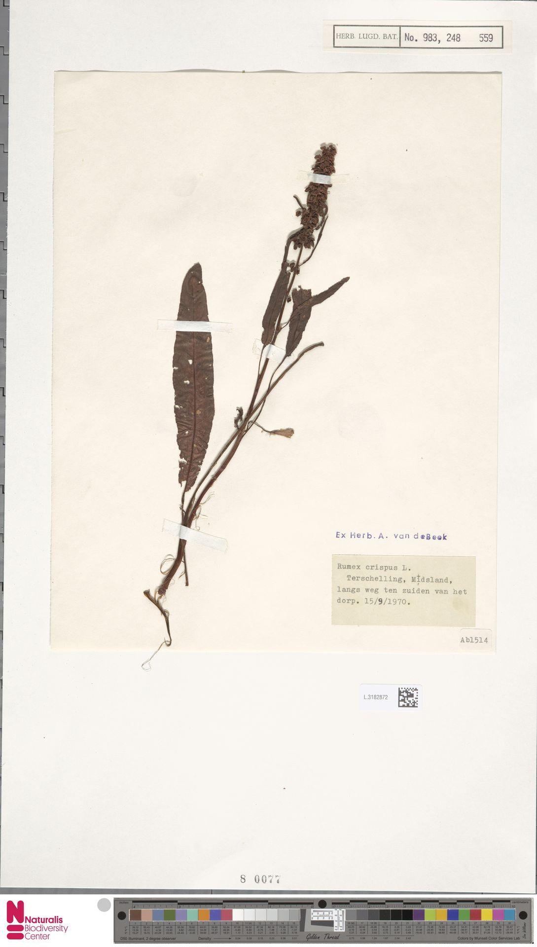 L.3182872 | Rumex crispus L.