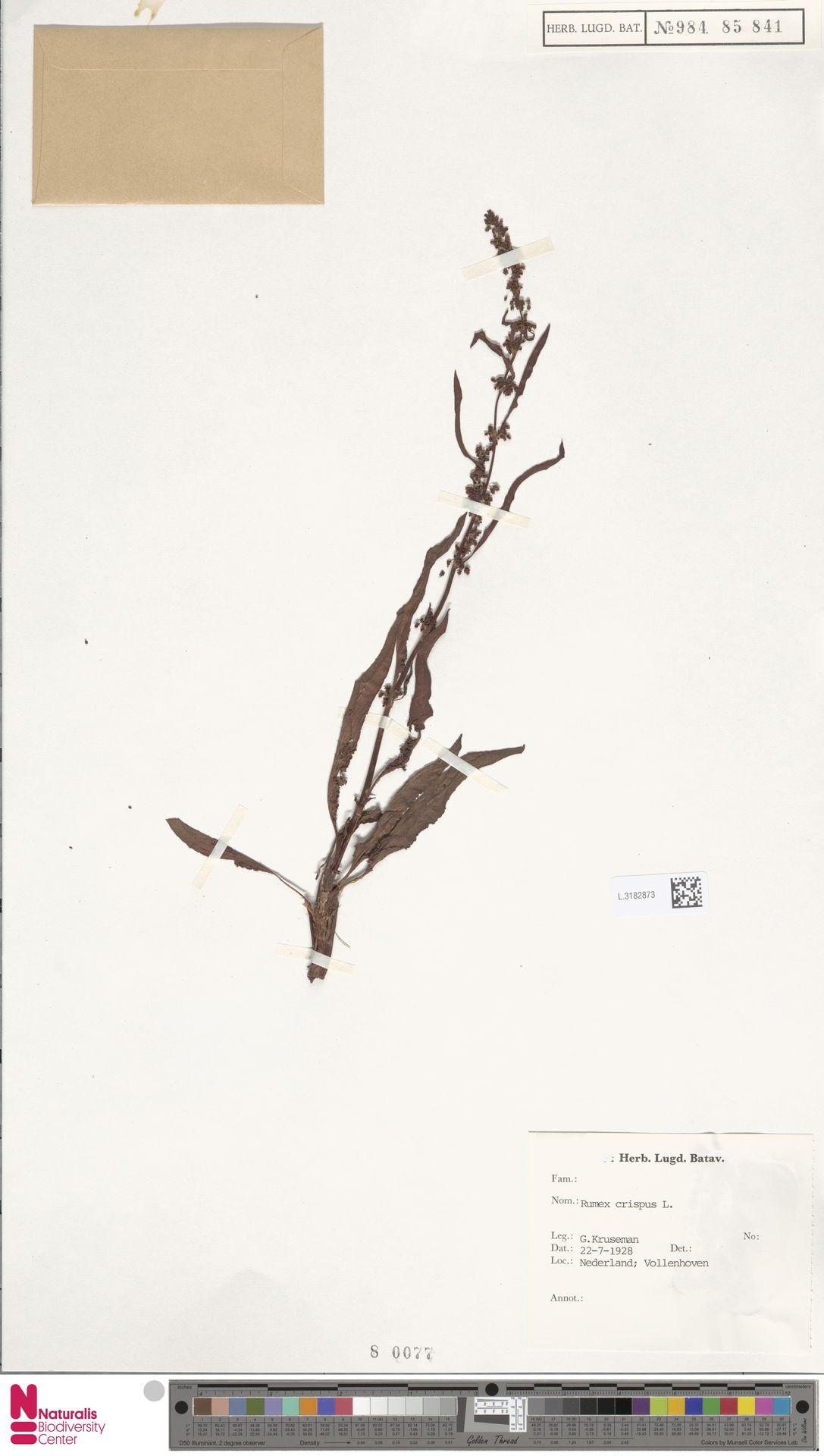 L.3182873 | Rumex crispus L.