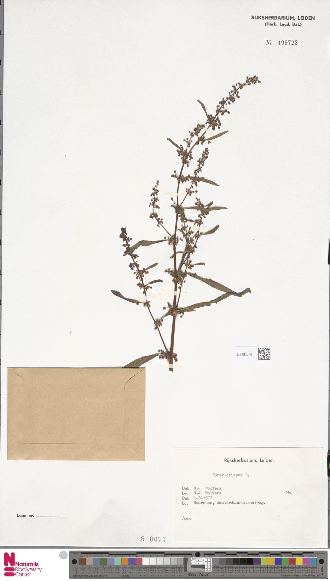 L.3182874 | Rumex crispus L.