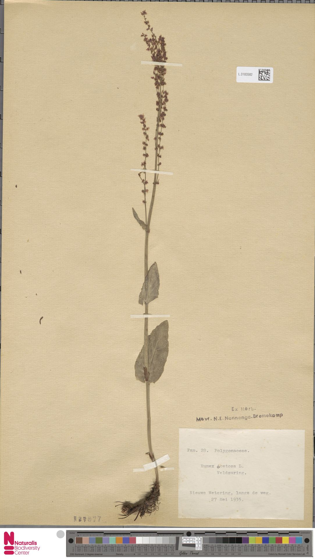 L.3183582 | Rumex acetosa L.