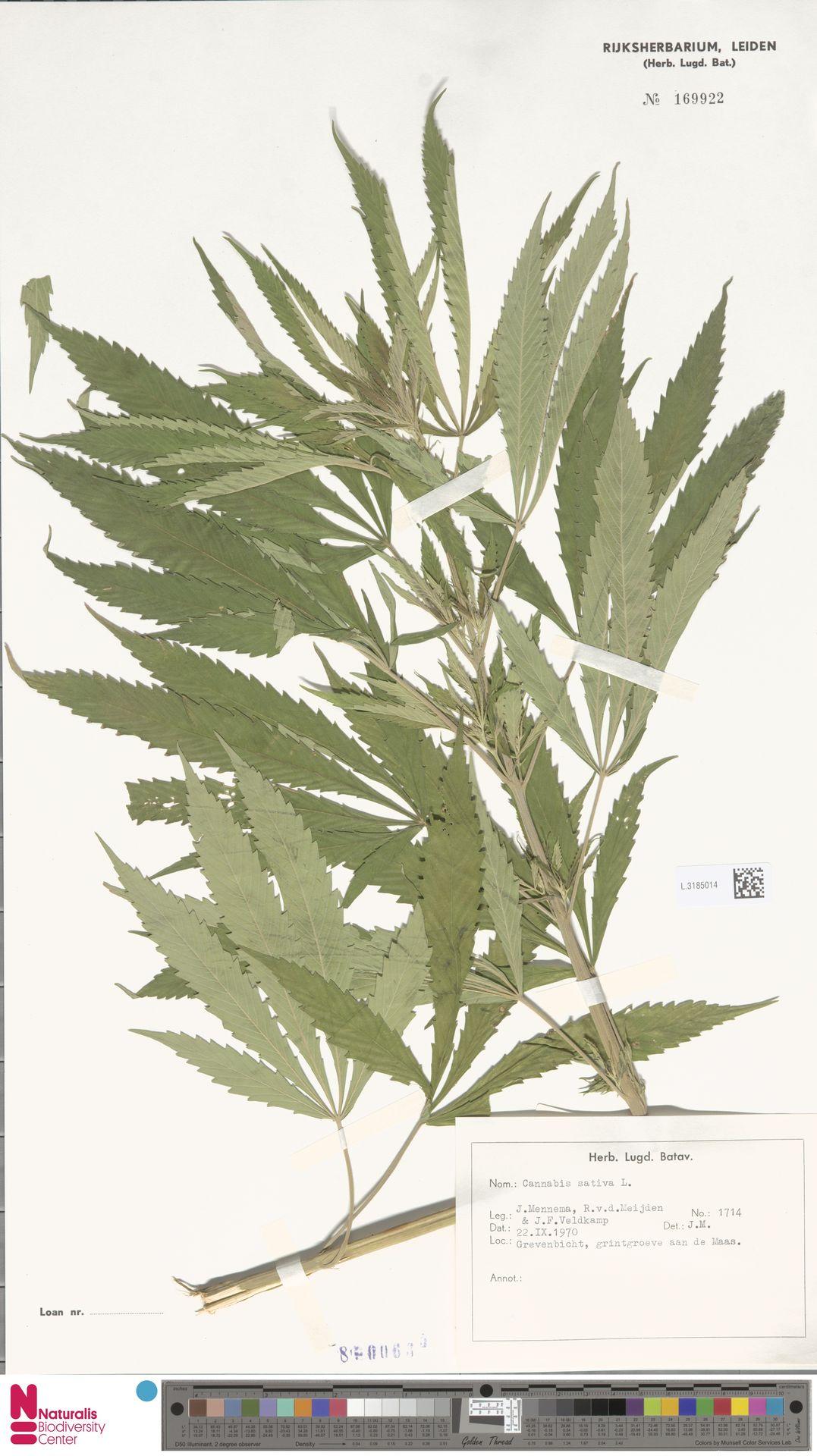 L.3185014 | Cannabis sativa L.