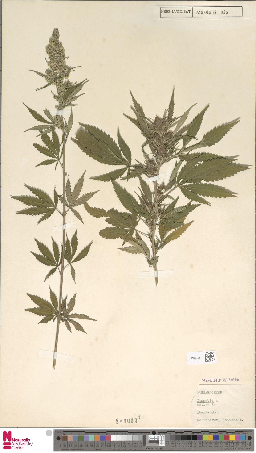 L.3185034 | Cannabis sativa L.