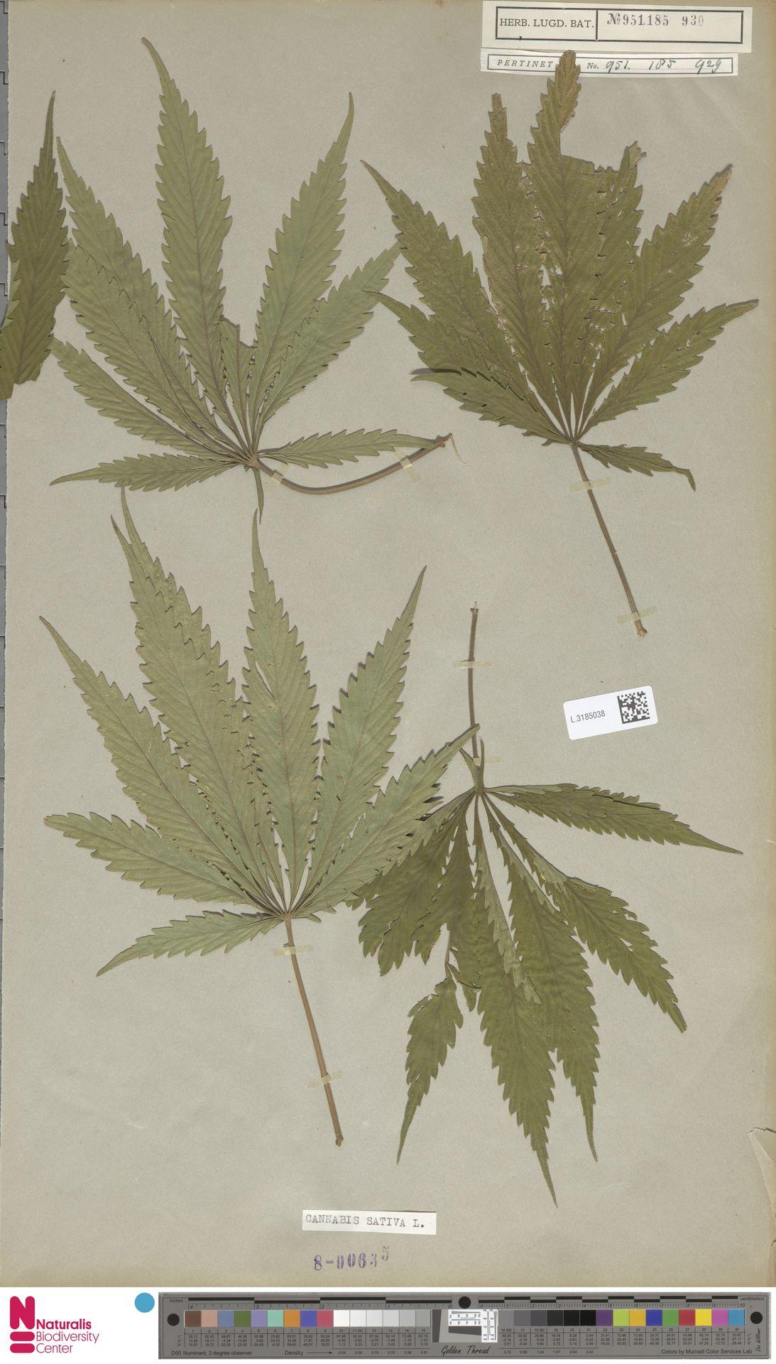 L.3185038 | Cannabis sativa L.