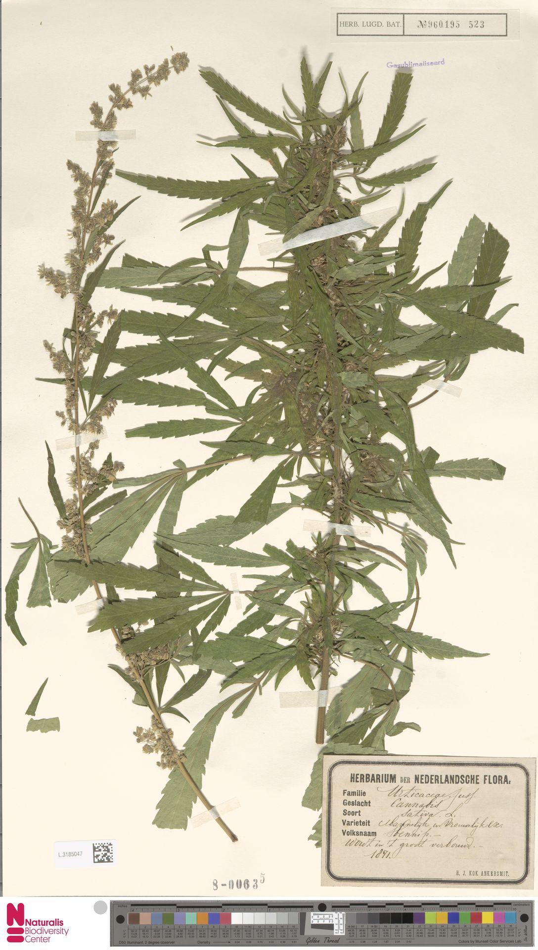 L.3185047   Cannabis sativa L.