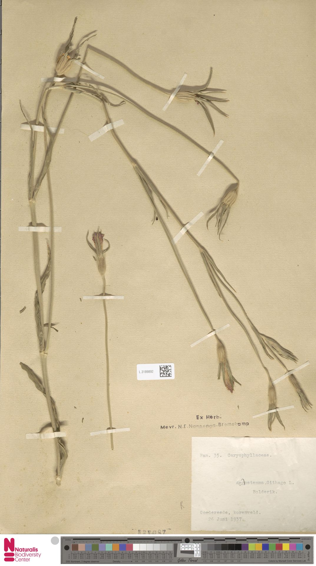L.3189892 | Agrostemma githago L.