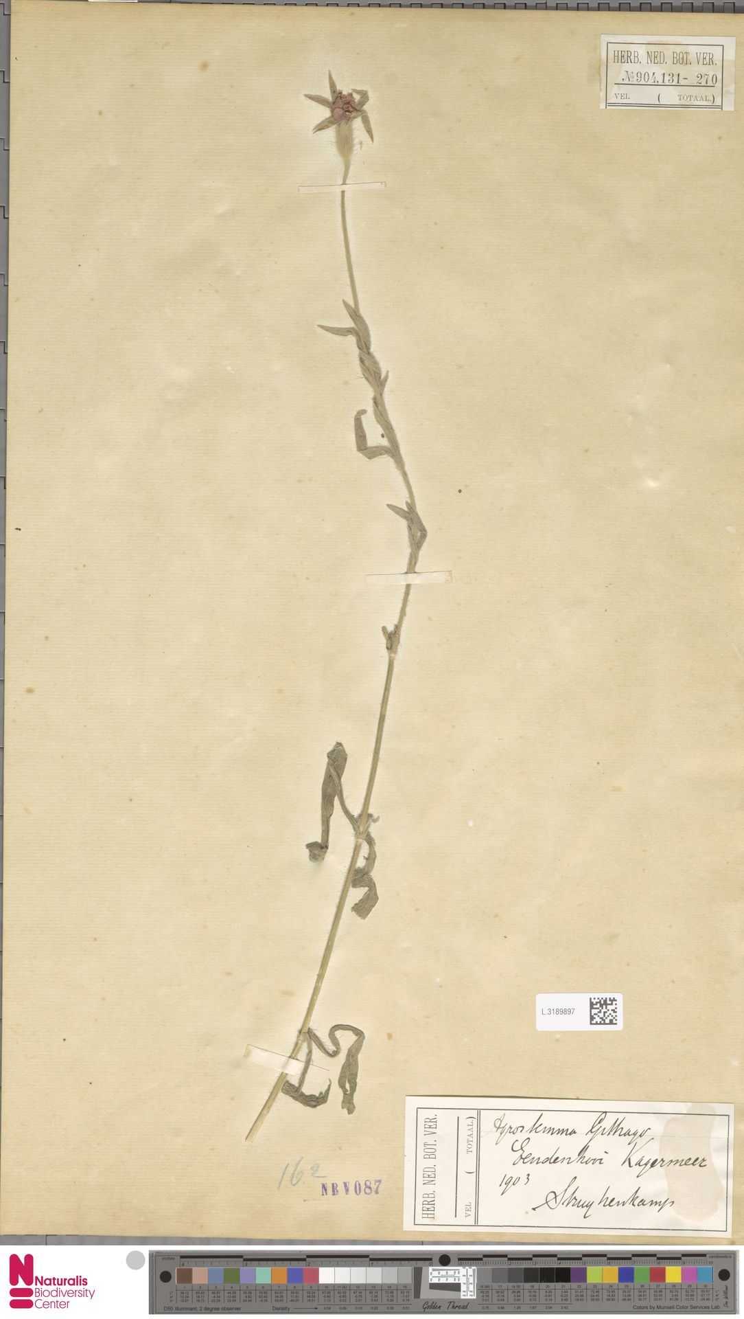 L.3189897 | Agrostemma githago L.