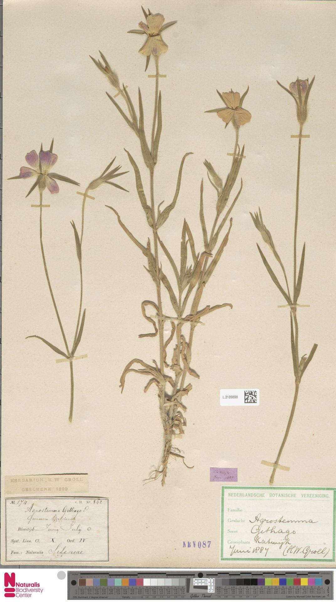 L.3189898 | Agrostemma githago L.