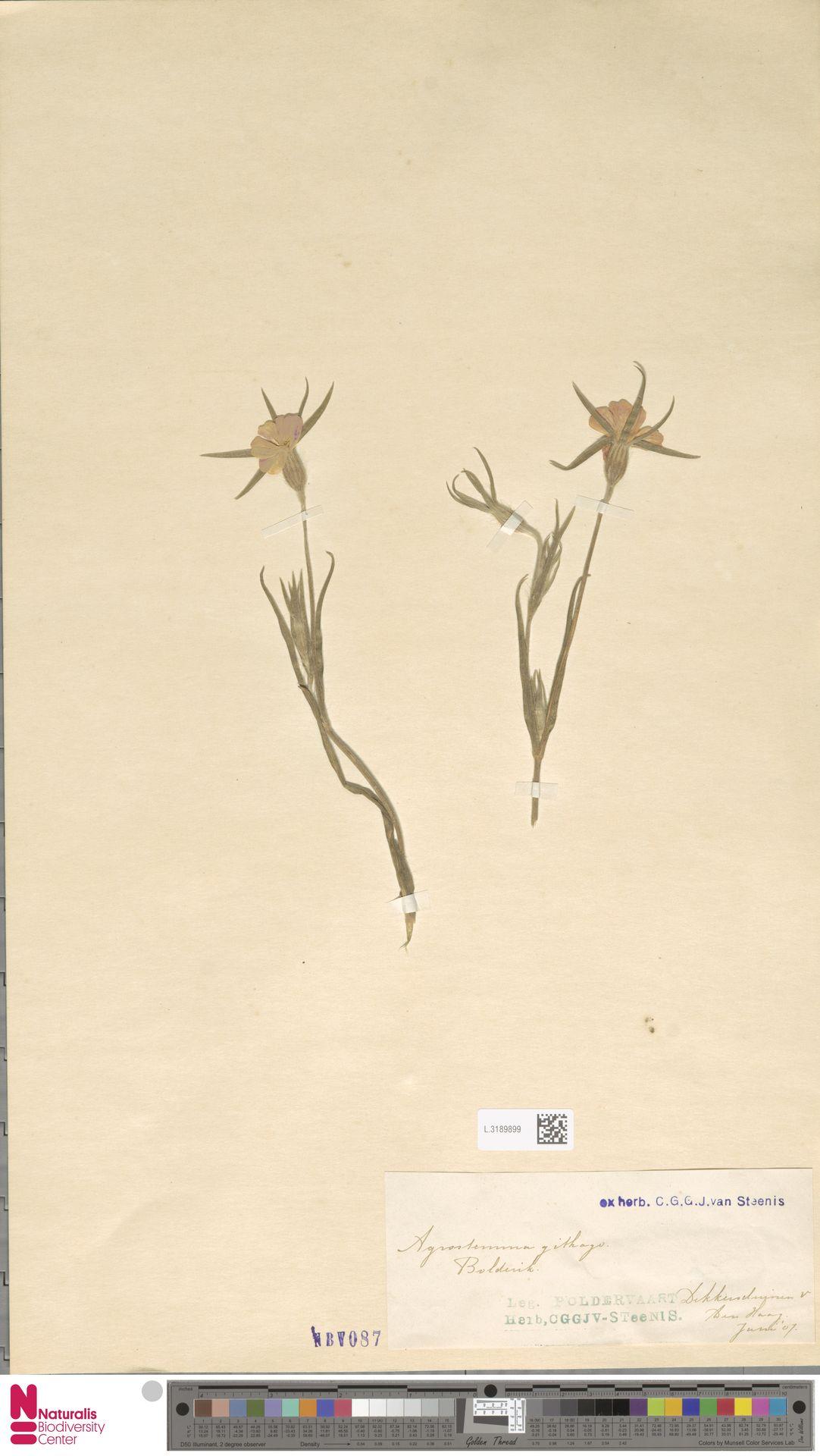 L.3189899 | Agrostemma githago L.