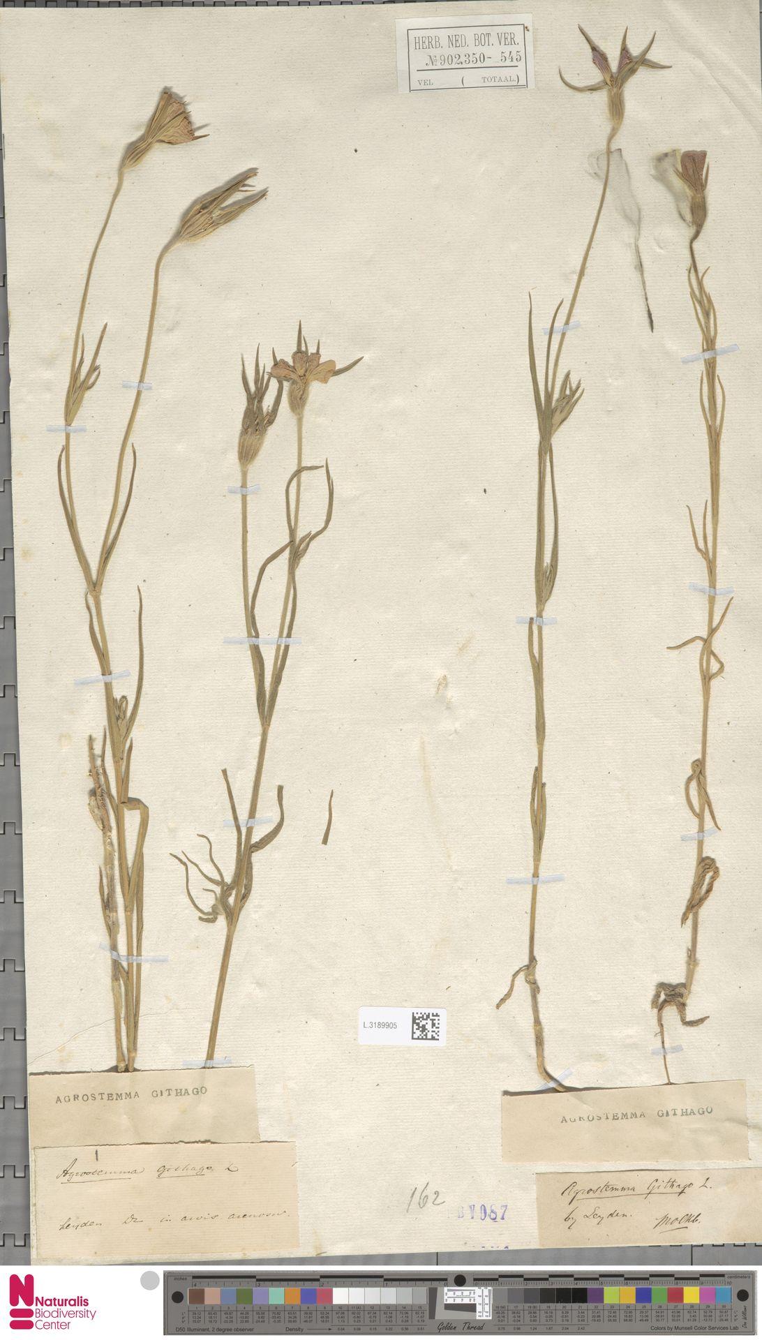 L.3189905 | Agrostemma githago L.