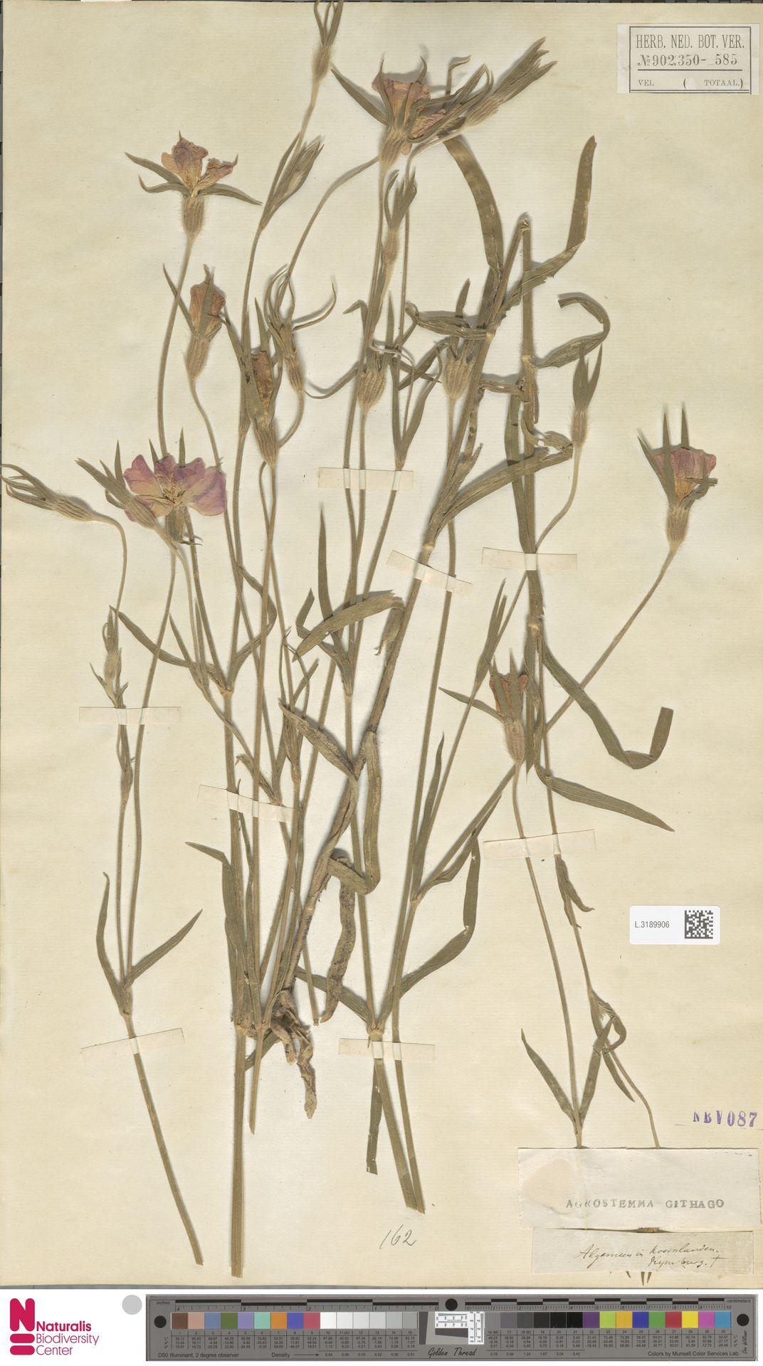 L.3189906 | Agrostemma githago L.