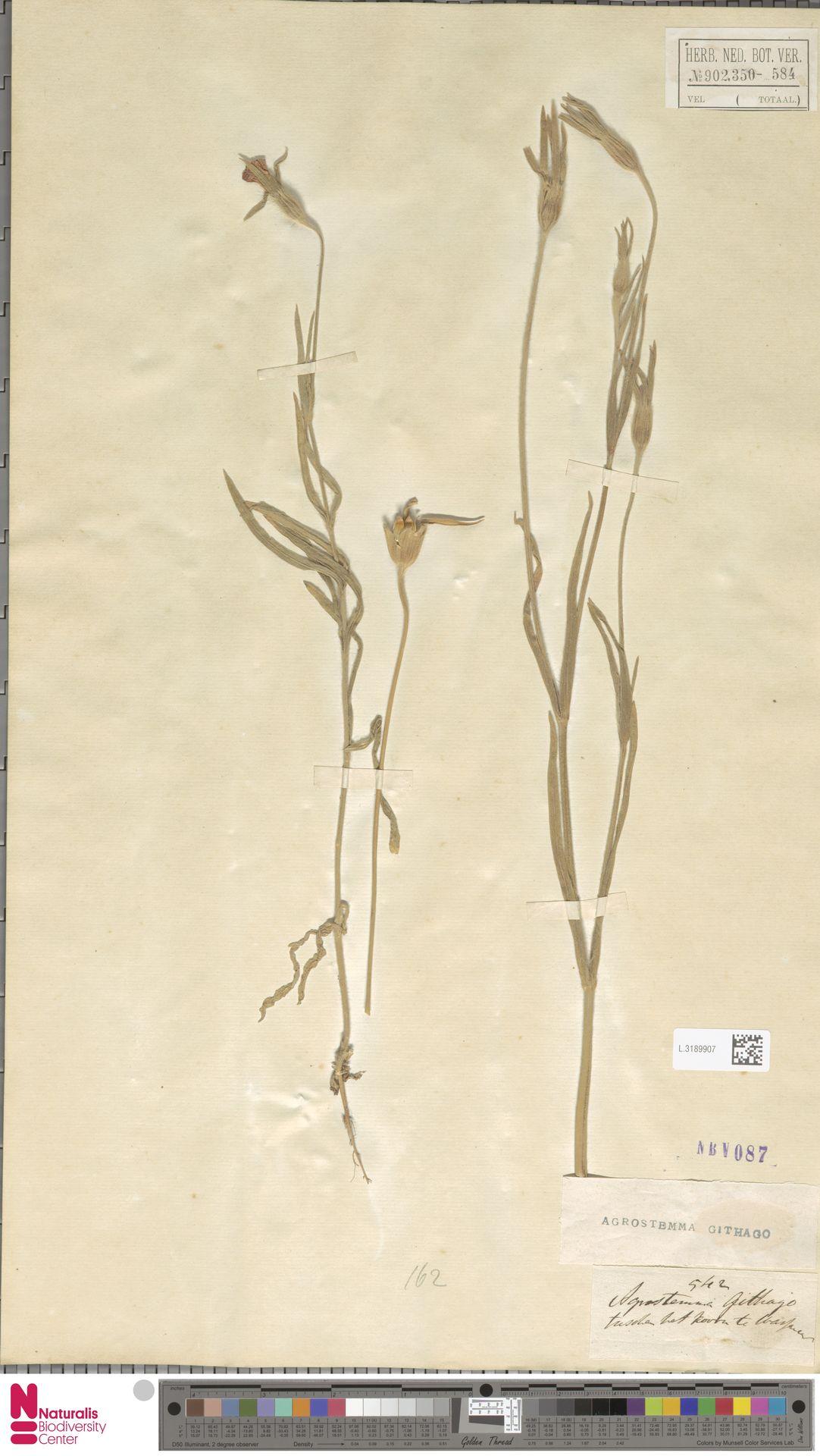 L.3189907   Agrostemma githago L.