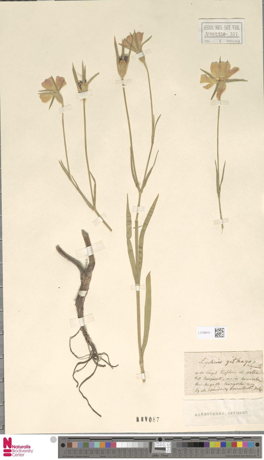 L.3189910 | Agrostemma githago L.