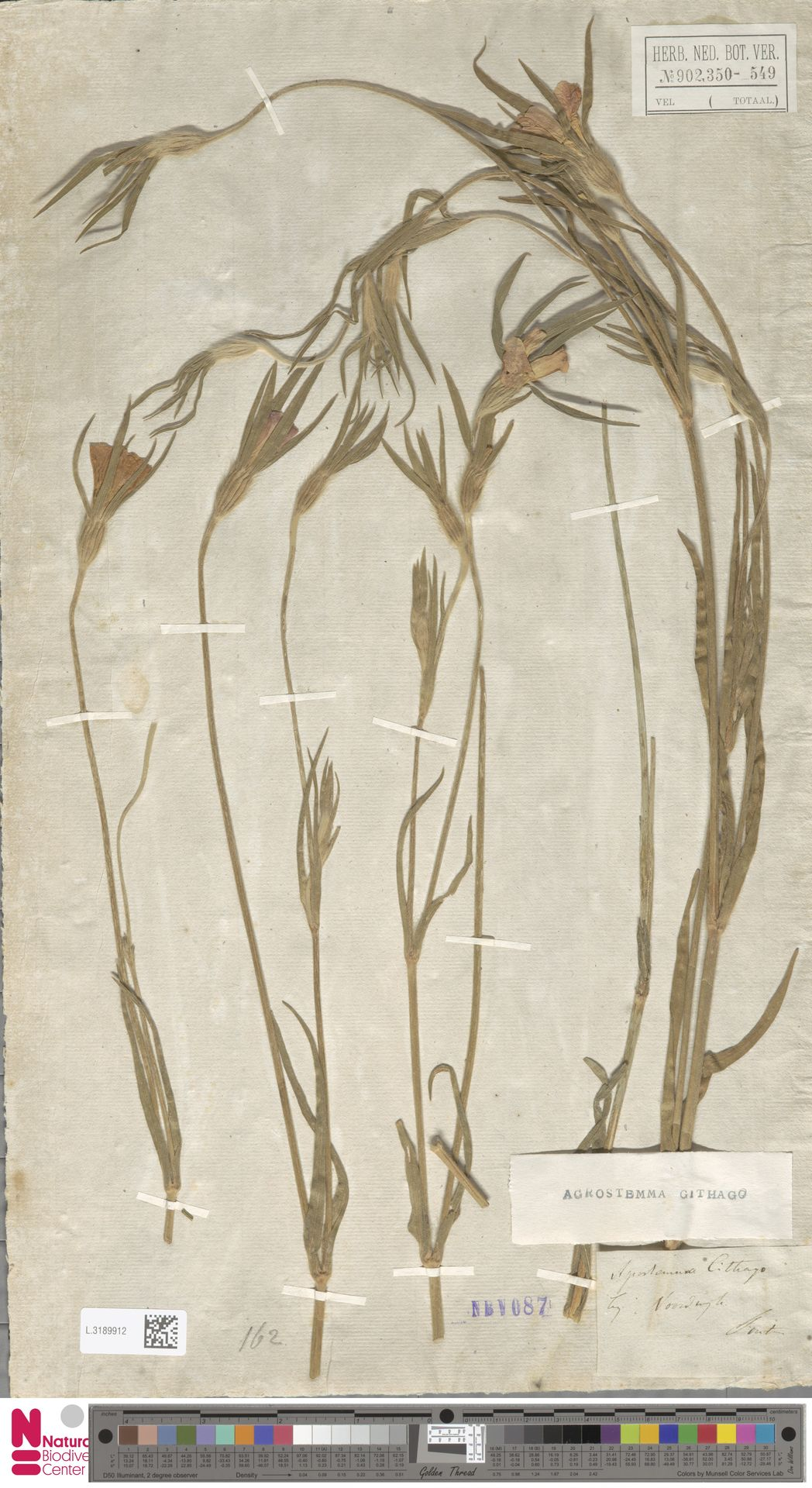 L.3189912 | Agrostemma githago L.