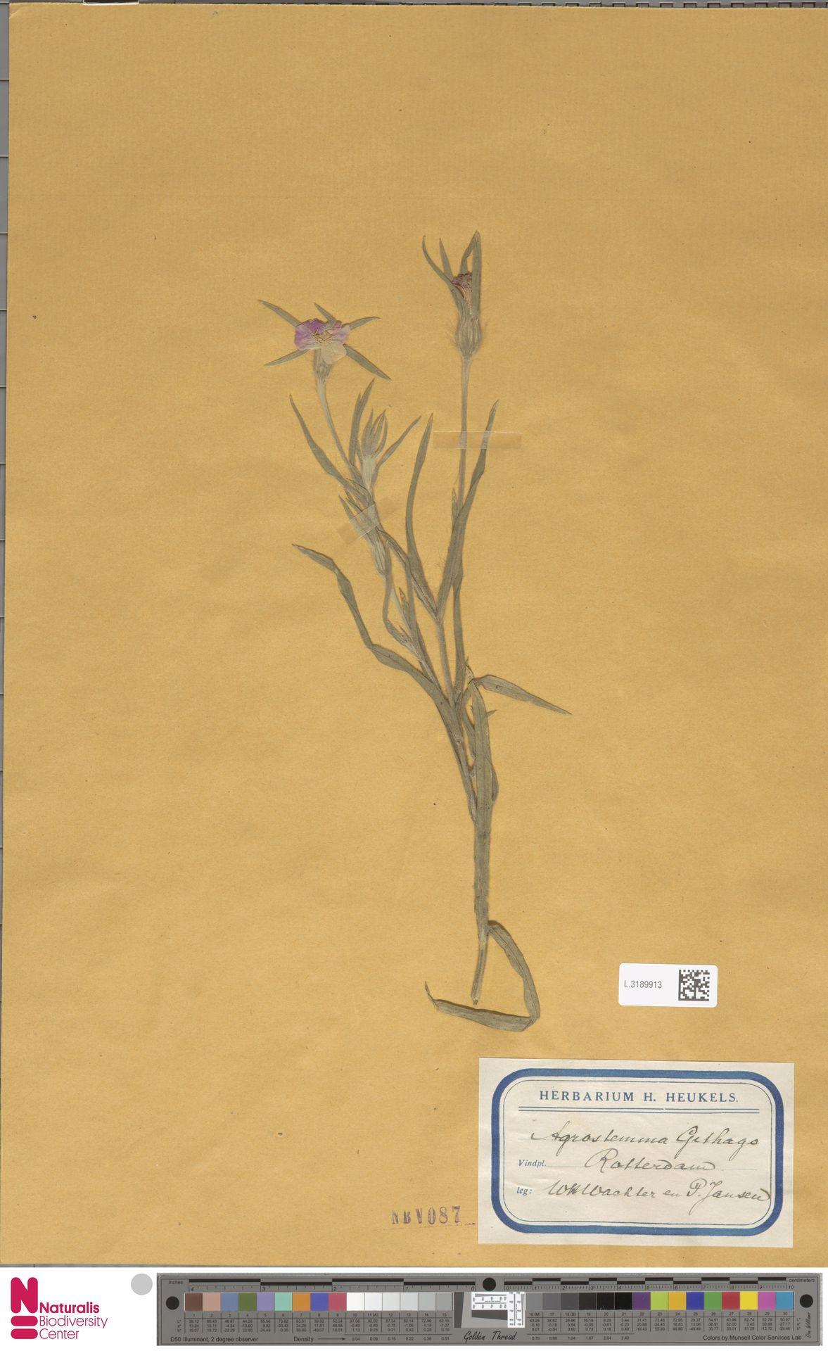 L.3189913 | Agrostemma githago L.