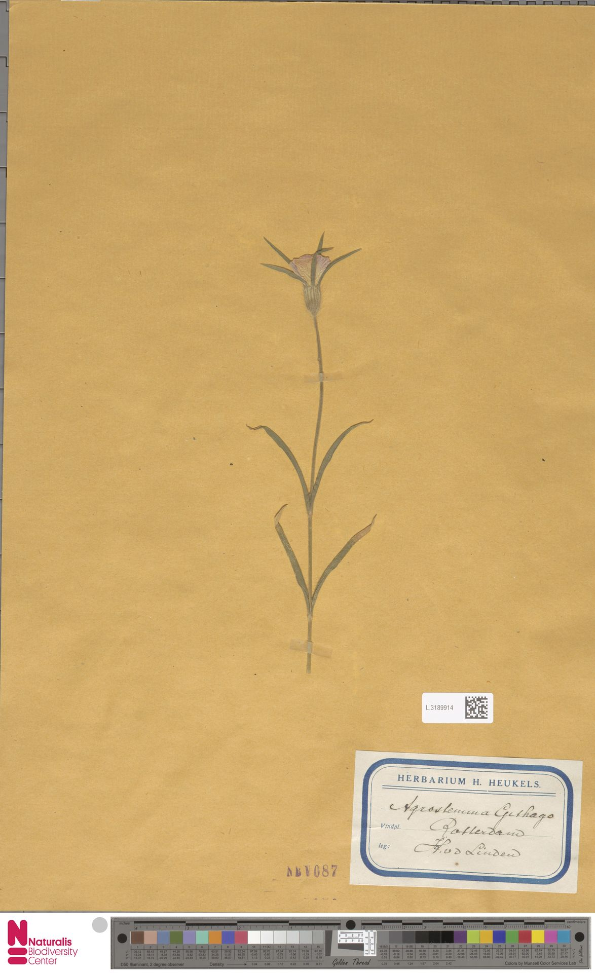 L.3189914 | Agrostemma githago L.