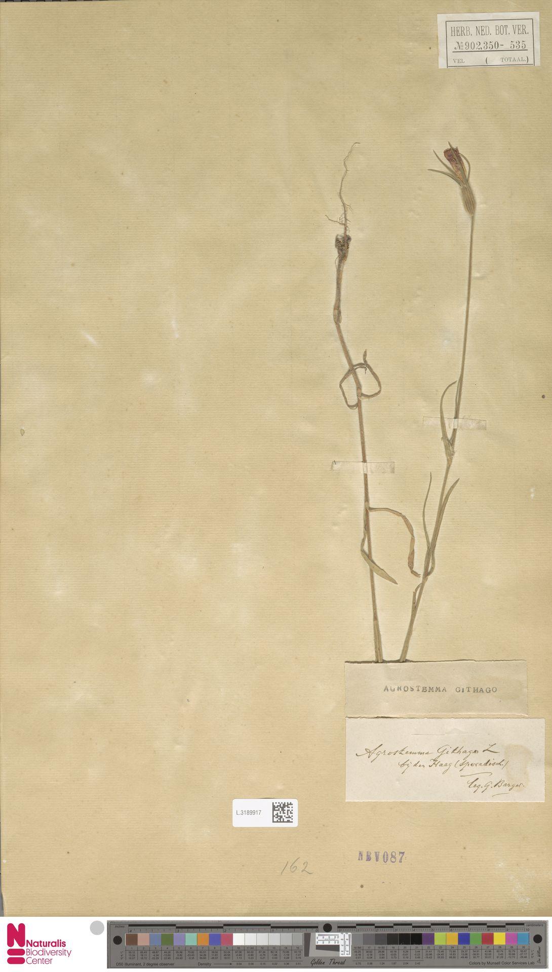 L.3189917 | Agrostemma githago L.