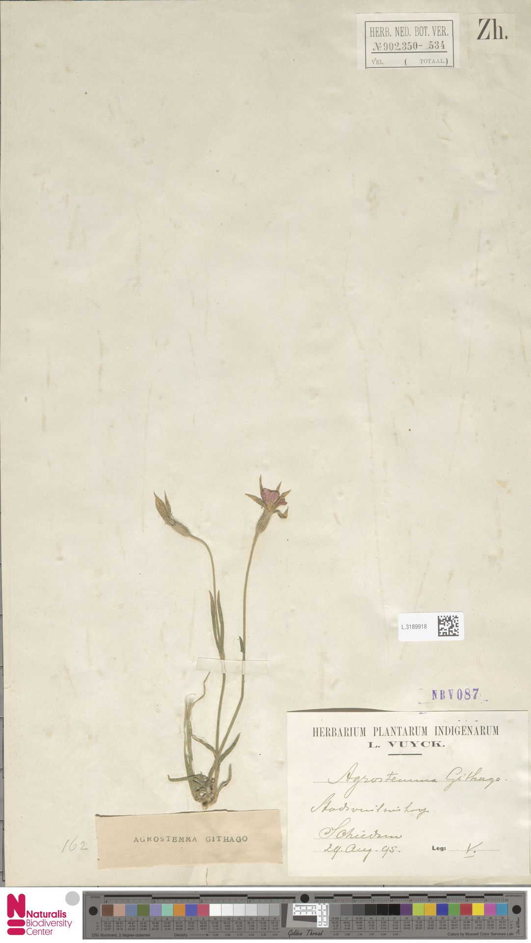 L.3189918   Agrostemma githago L.