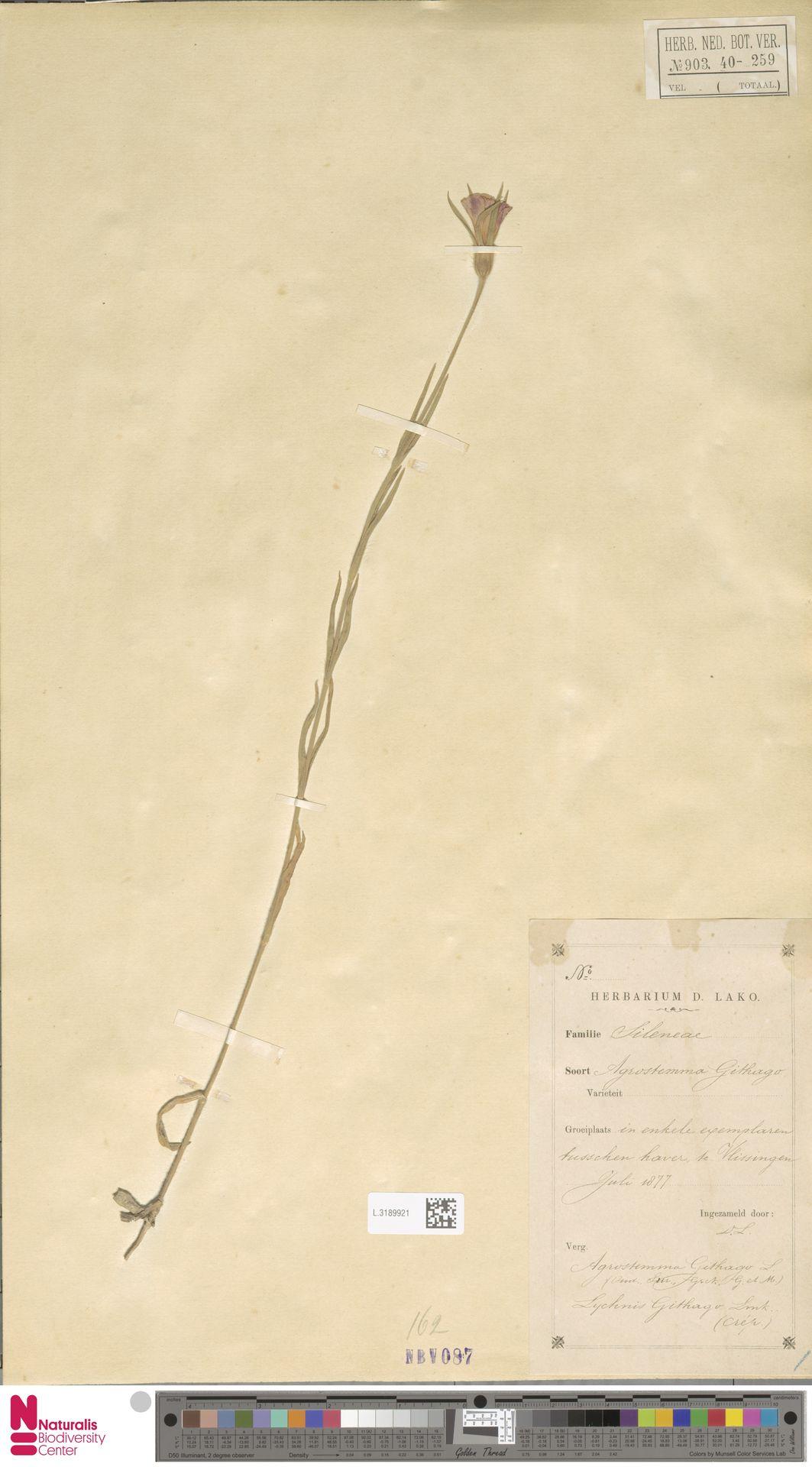 L.3189921 | Agrostemma githago L.