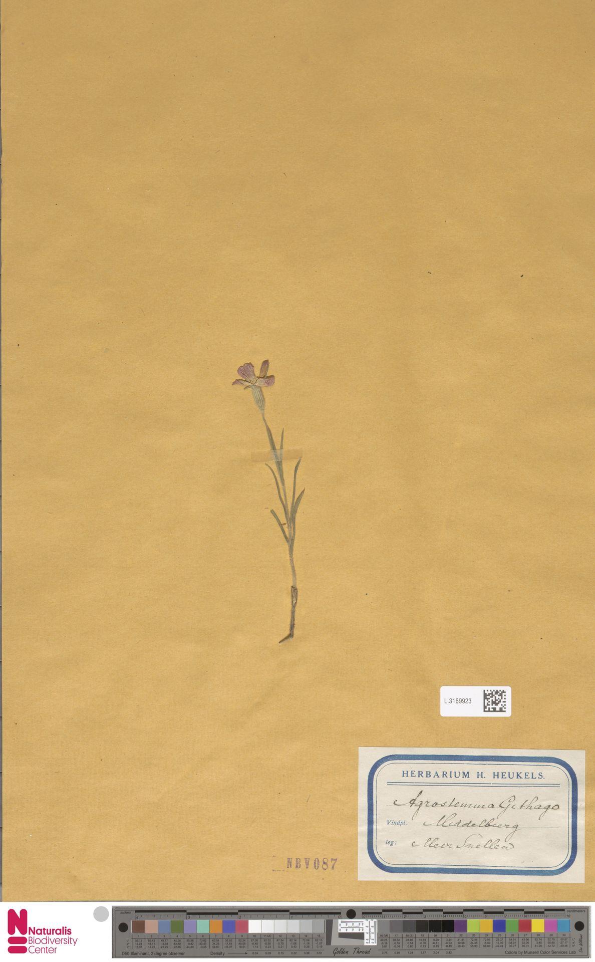 L.3189923 | Agrostemma githago L.