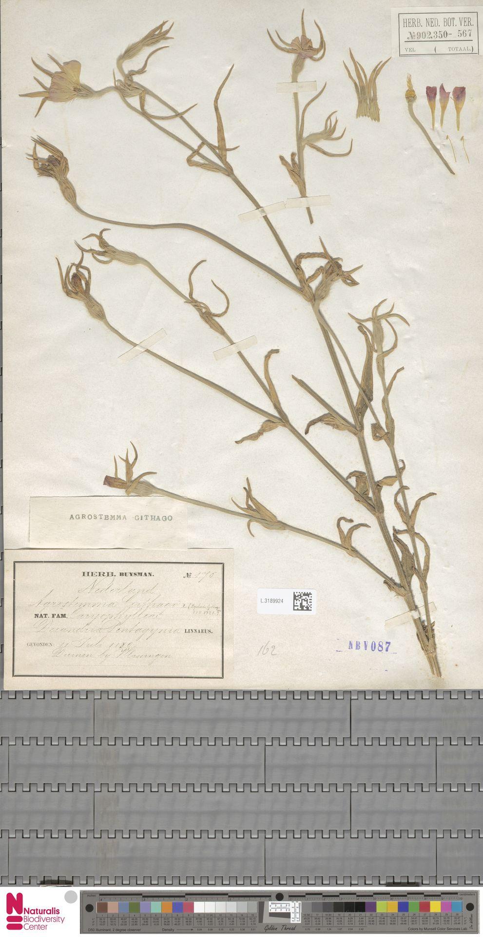 L.3189924 | Agrostemma githago L.