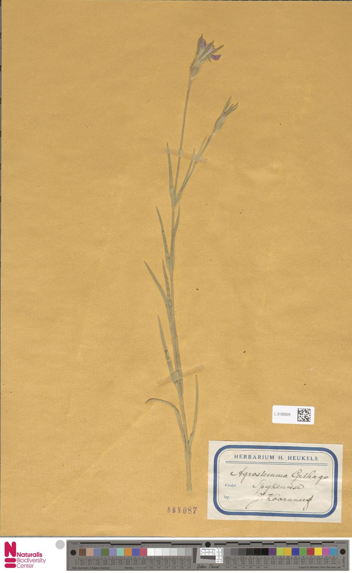 L.3189926 | Agrostemma githago L.