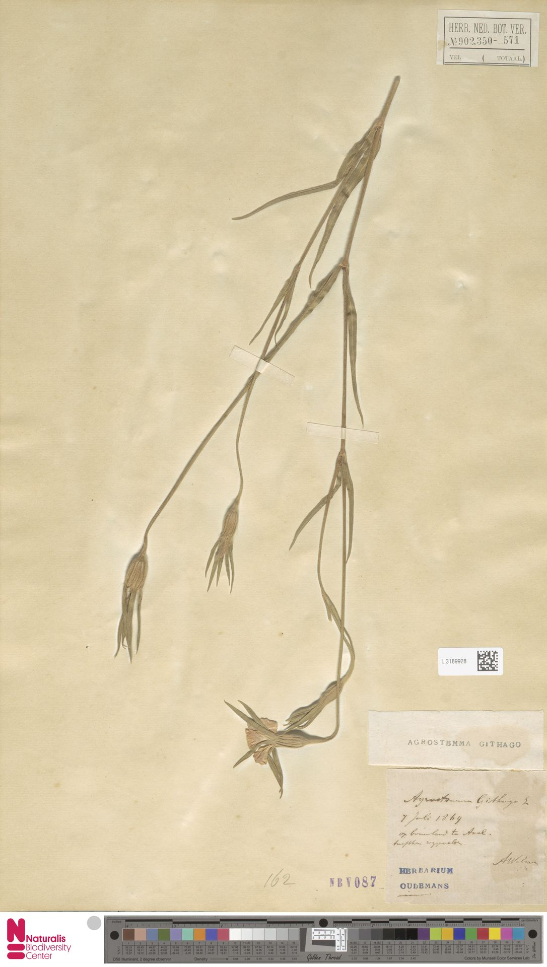 L.3189928   Agrostemma githago L.