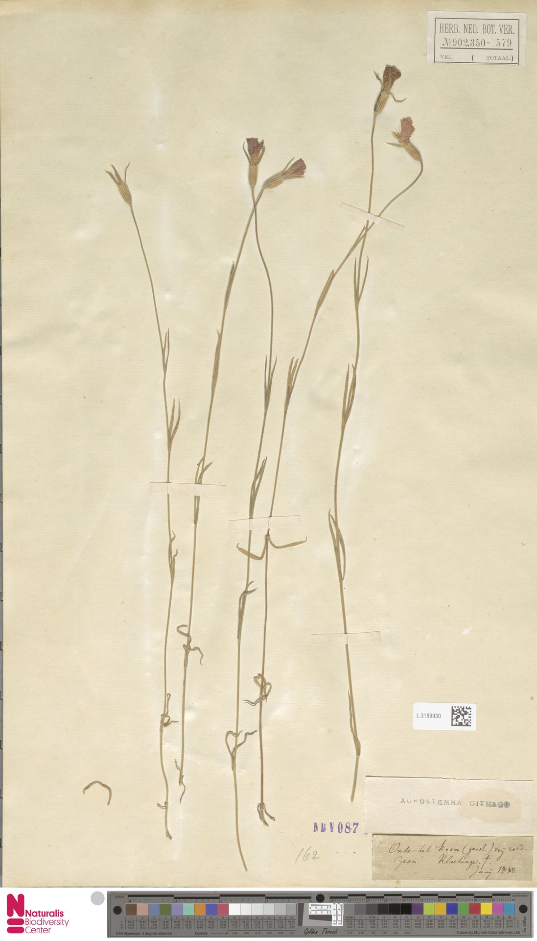 L.3189930 | Agrostemma githago L.