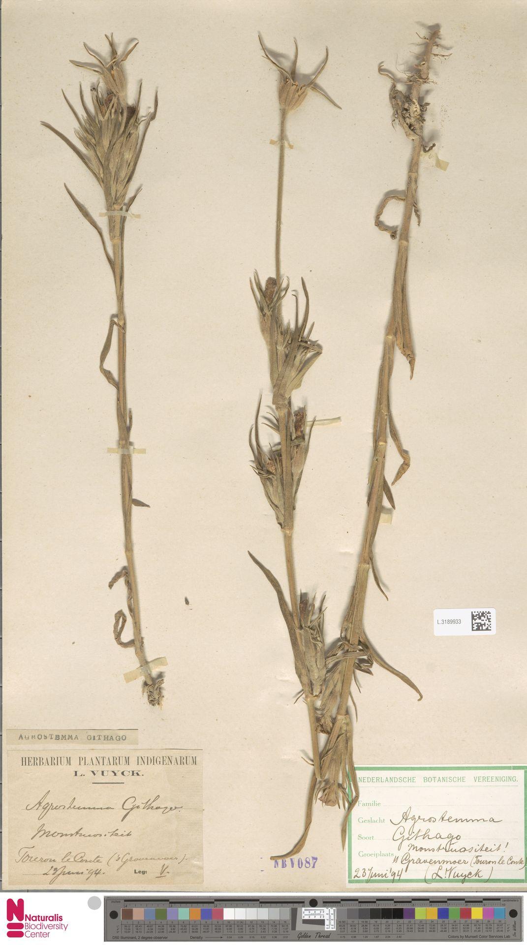 L.3189933 | Agrostemma githago L.