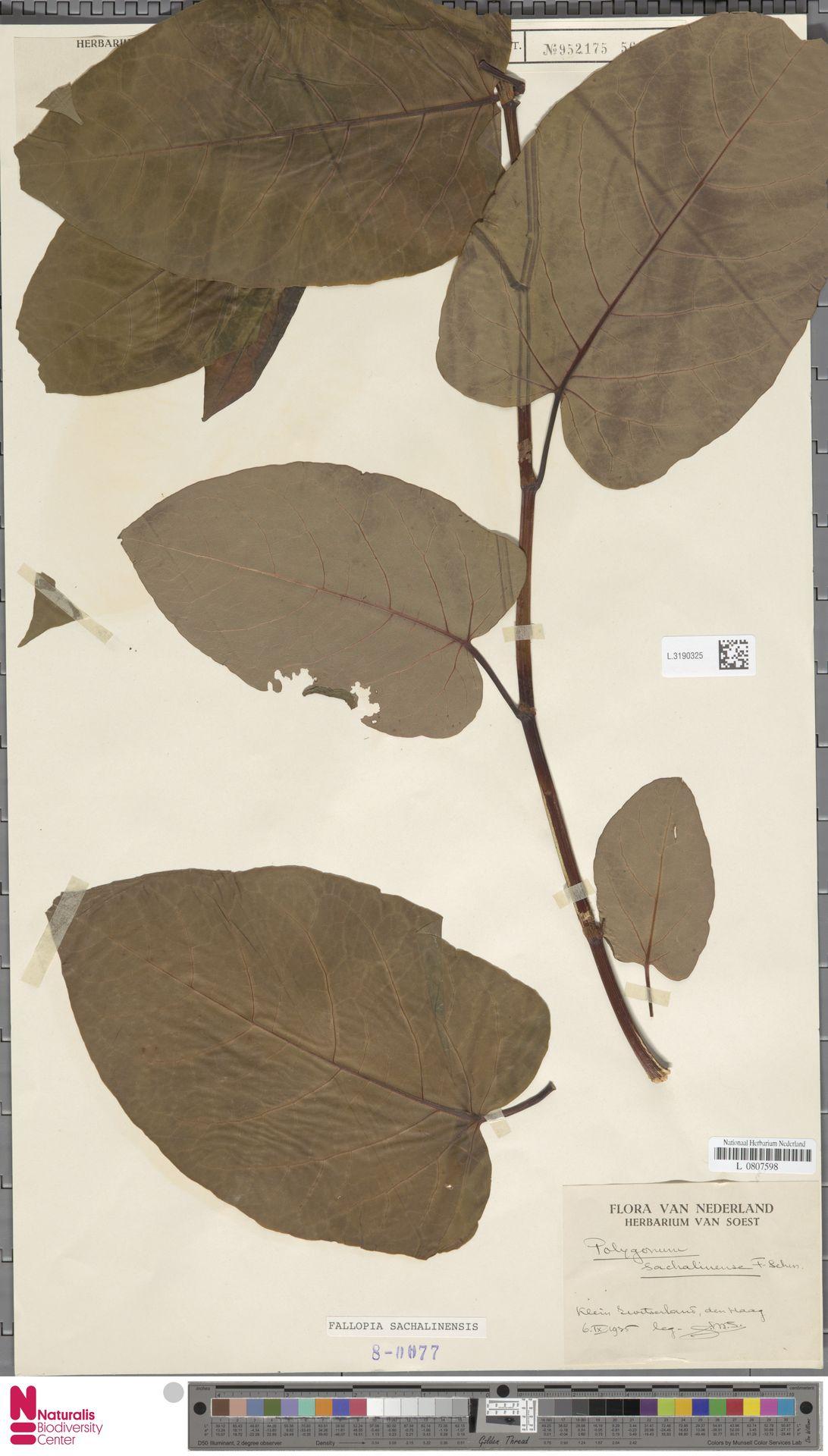 L.3190325 | Fallopia sachalinensis (F.Schmidt) Ronse Decr.