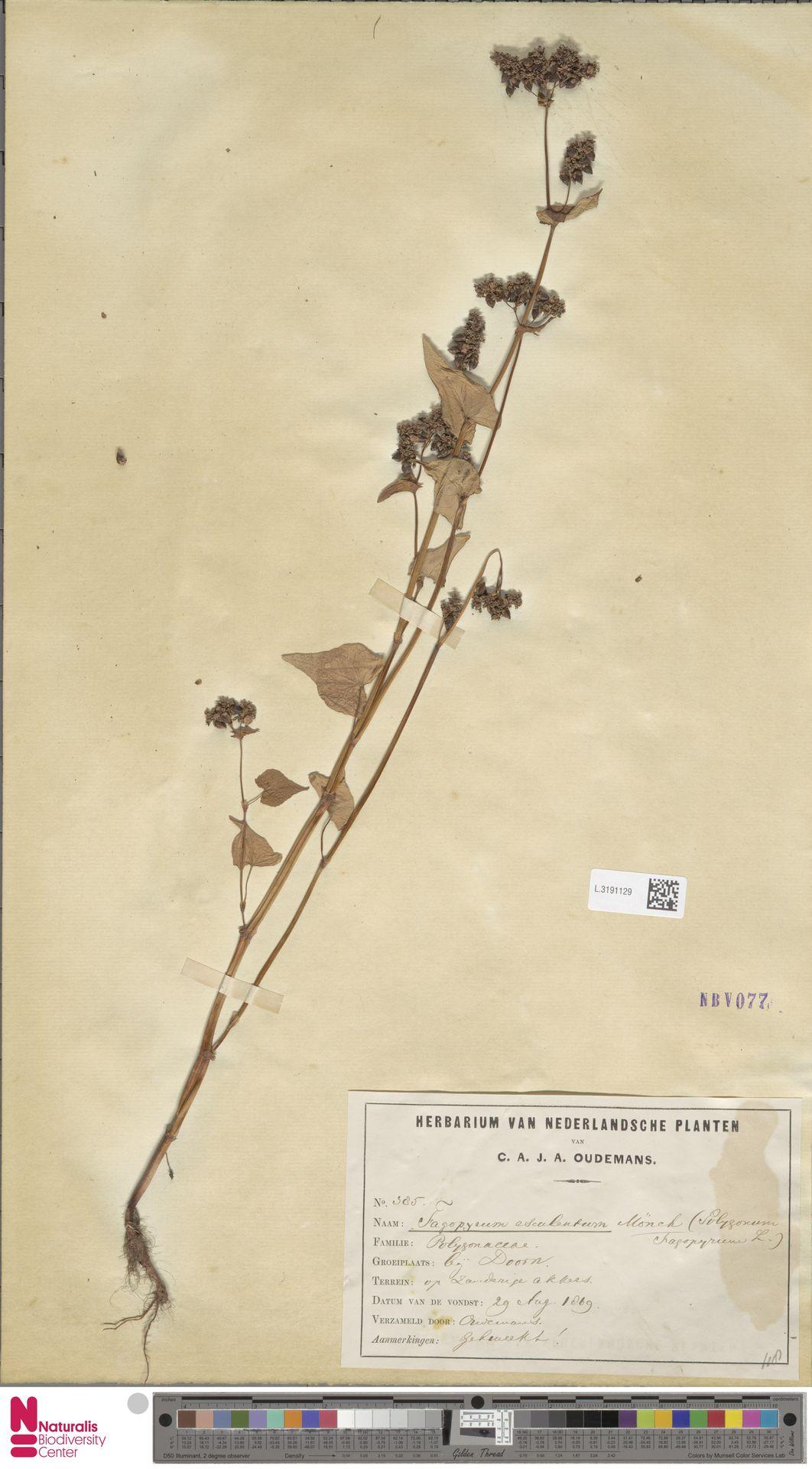 L.3191129 | Fagopyrum esculentum Moench