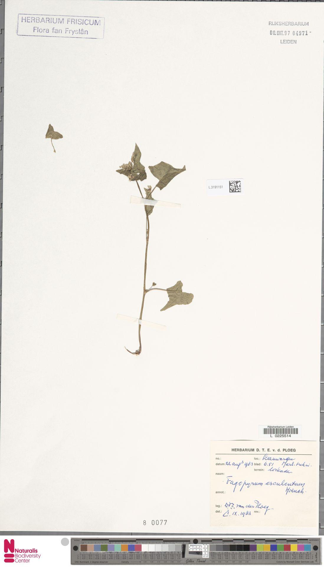 L.3191151 | Fagopyrum esculentum Moench