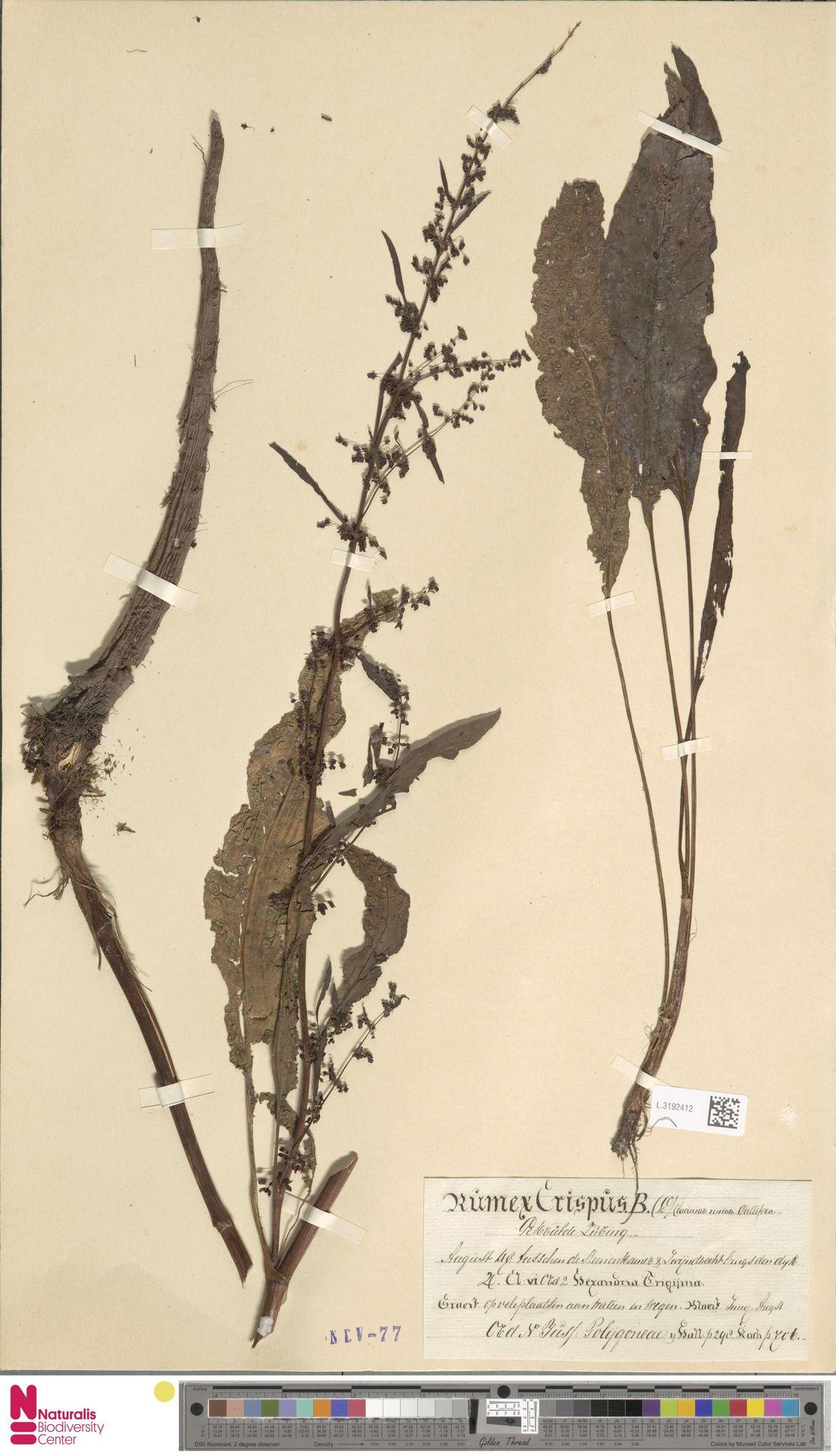 L.3192412 | Rumex crispus L.
