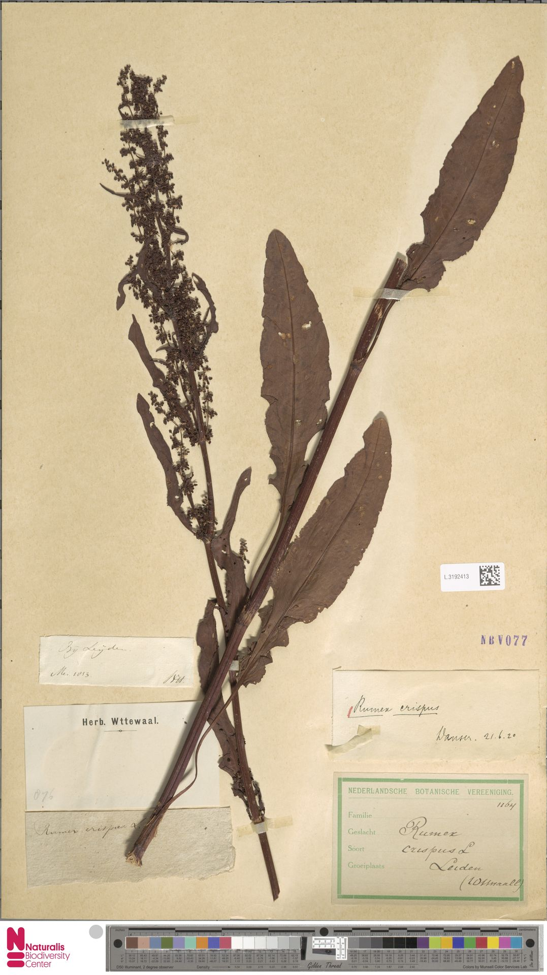 L.3192413 | Rumex crispus L.