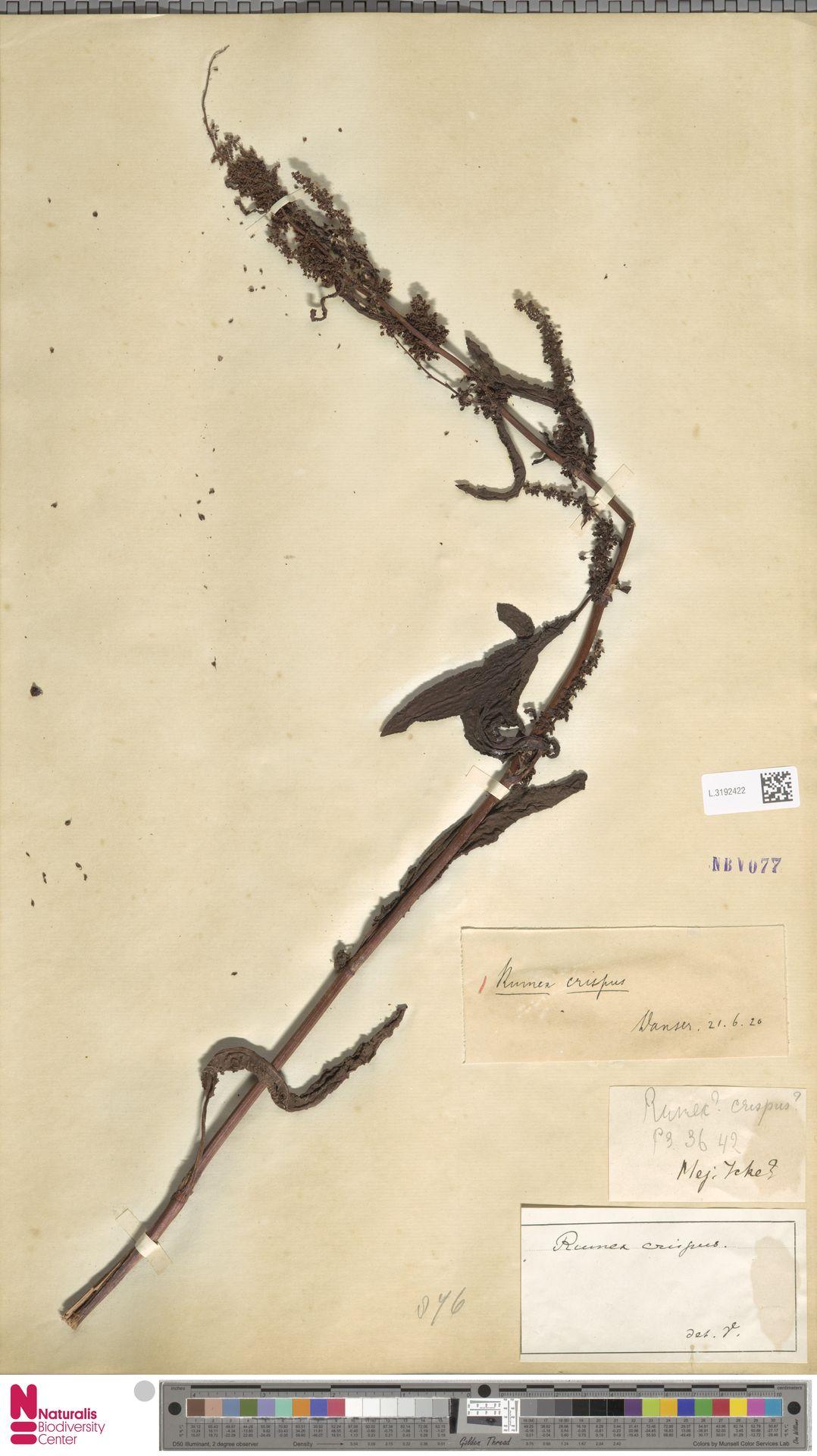 L.3192422 | Rumex crispus L.