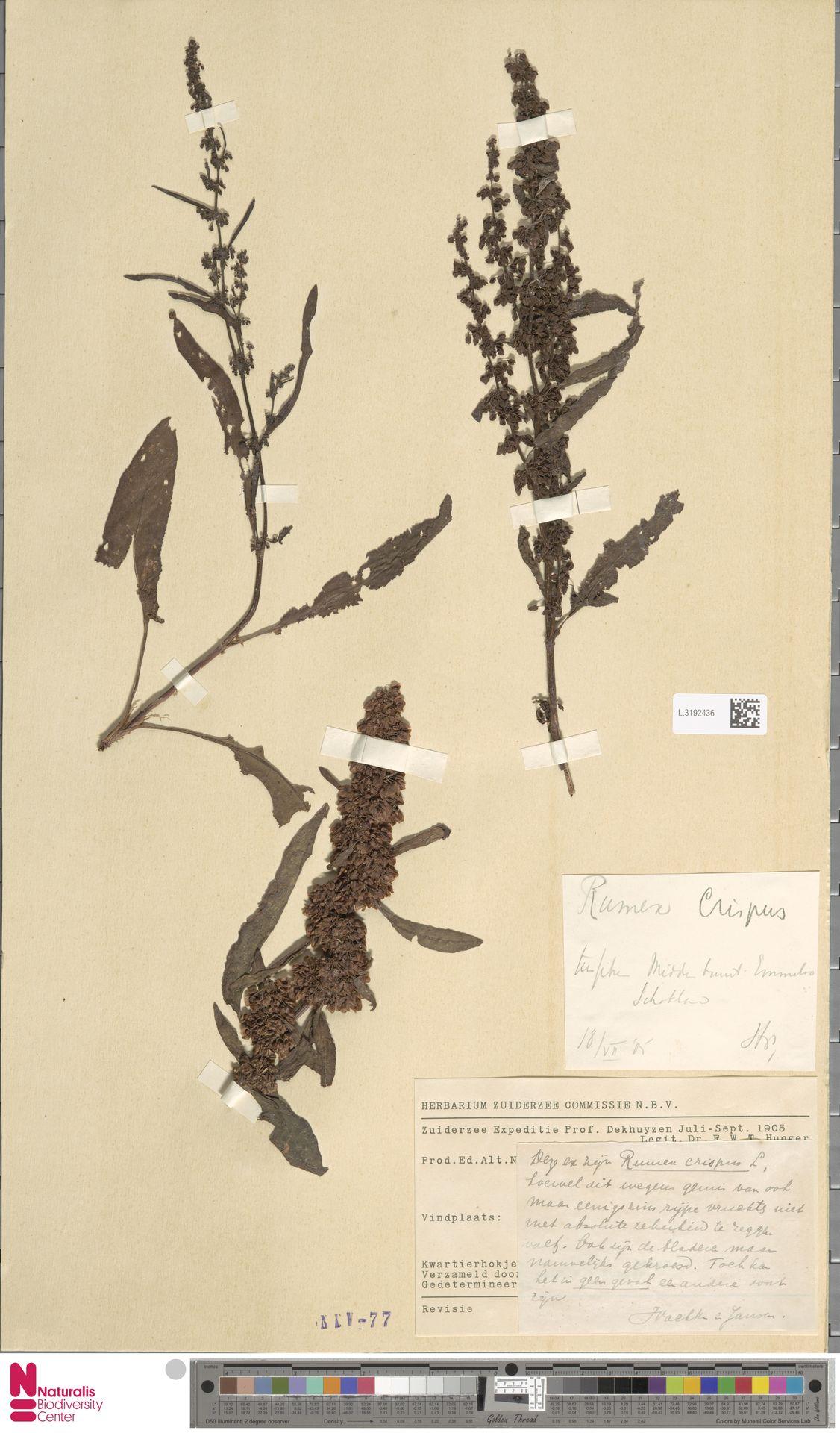 L.3192436 | Rumex crispus L.