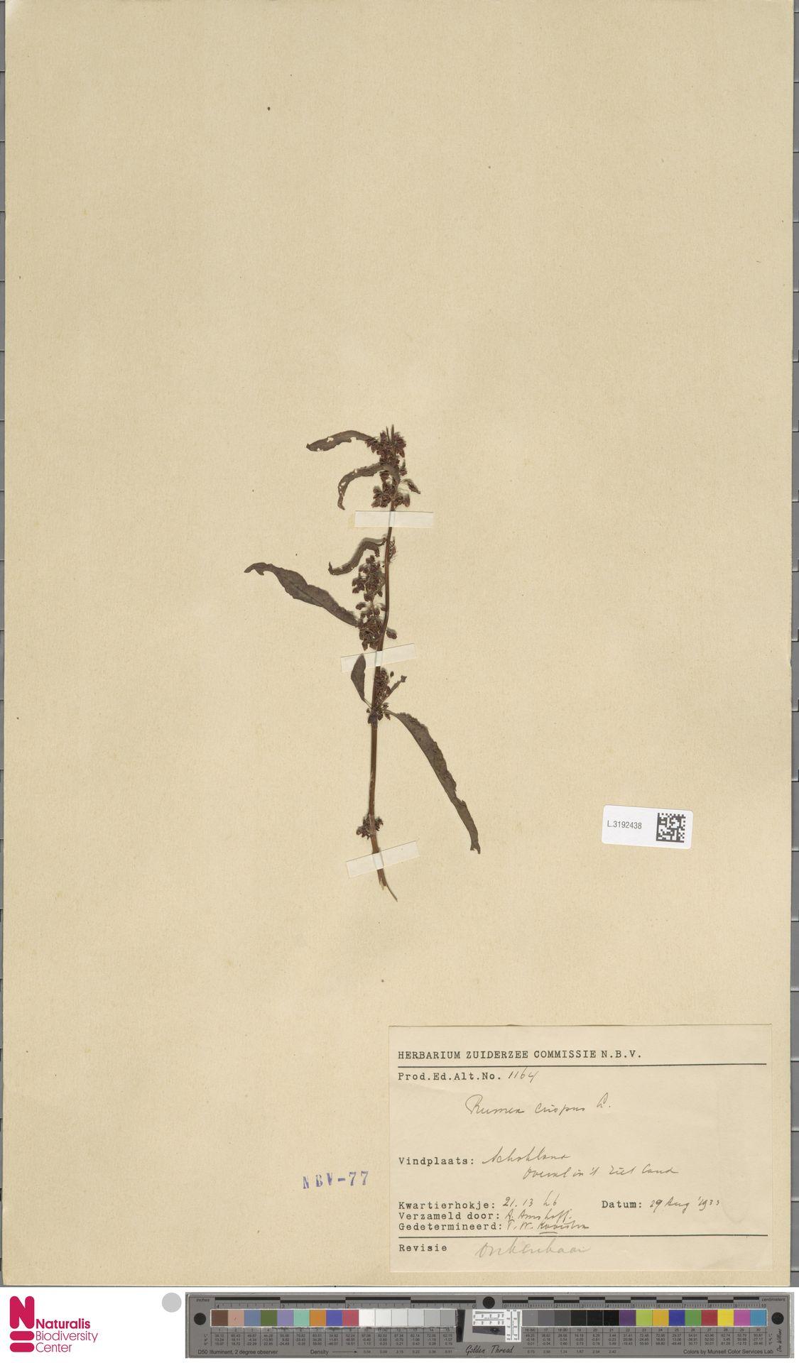 L.3192438 | Rumex crispus L.