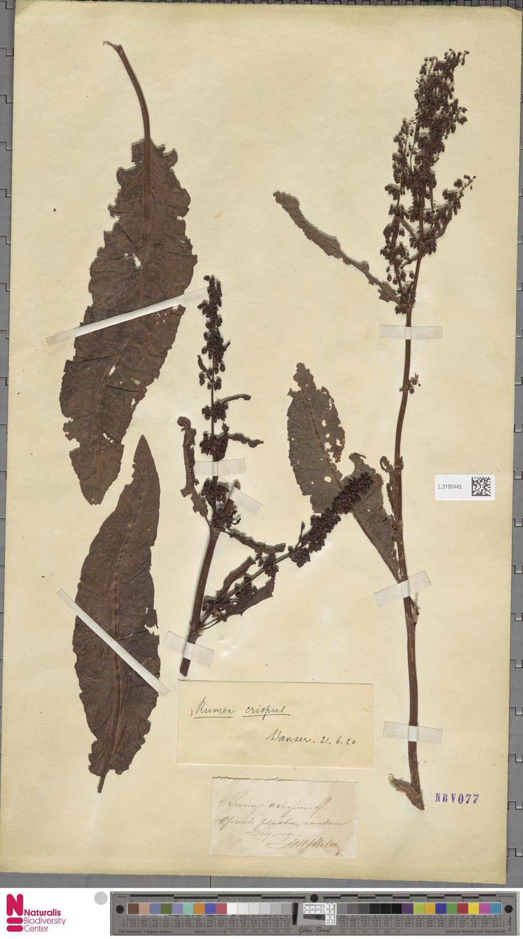 L.3192445 | Rumex crispus L.