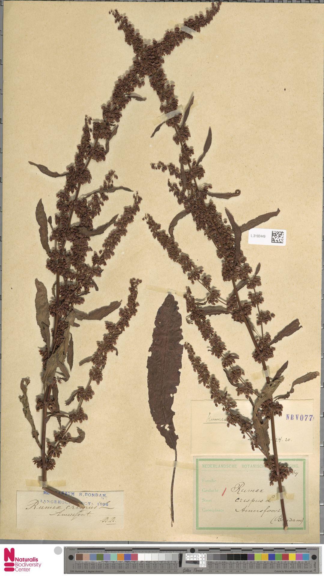 L.3192449 | Rumex crispus L.