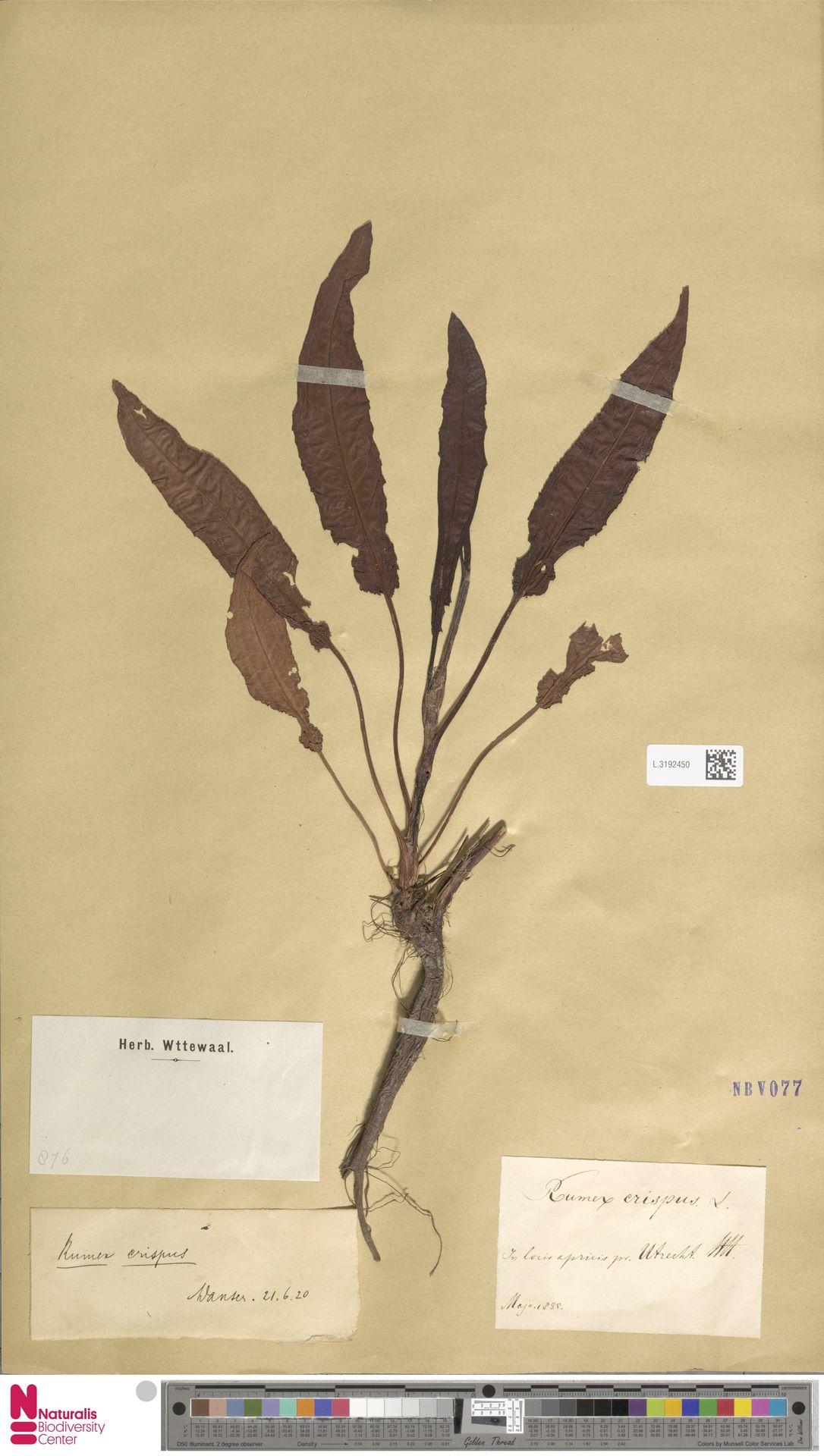 L.3192450 | Rumex crispus L.